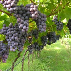 viticoltura bio